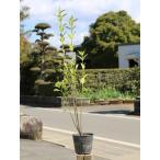 マサキ 0.8m15cmポット 1本 1年間枯れ保証 生垣樹木