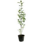 【1年間枯れ保証】【生垣樹木】オウゴンマサキ 0.5m10.5cmポット 【あすつく対応】