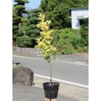 【1年間枯れ保証】【生垣樹木】オウゴンマサキ 0.6m15cmポット 1本