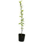 【1年間枯れ保証】【夏に花が咲く木】ムクゲ 0.3m10.5cmポット 【あすつく対応】