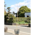【1年間枯れ保証】【紅葉が美しい木】イロハモミジ 0.5m 【あすつく対応】
