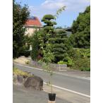 【1年間枯れ保証】【紅葉が美しい木】イロハモミジ 1.0m10.5cmポット 20本セット 送料無料 【あすつく対応】