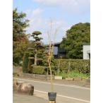 【1年間枯れ保証】【紅葉が美しい木】イロハモミジ 1.5m15cmポット 【あすつく対応】