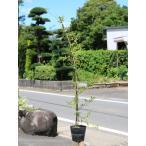 モッコウバラ 白花 1.0m長尺15cmポット 3本セット 送料無料 1年間枯れ保証 つる性