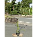 モッコウバラ 白花 1.5m長尺15cmポット 2本セット 送料無料 1年間枯れ保証 つる性