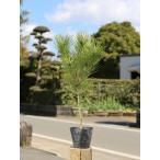 クロマツ 0.3m10.5cmポット 1本 1年間枯れ保証 山林苗木