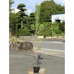 クロマツ 1.4m15cmポット 6本セット 1年間枯れ保証 山林苗木