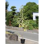 常緑ヤマボウシ 1.0m15cmポット 1本 1年間枯れ保証 春に花が咲く木