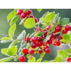 【1年間枯れ保証】【立木果樹】ユスラウメ/赤実 15cmポット  【あすつく対応】