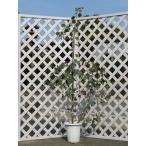 ユーカリ ポポラス 1.5m露地 1本 1年間枯れ保証 シンボルツリー常緑