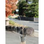 【1年間枯れ保証】【秋冬に花が咲く木】ロウバイ 0.4m 15cmポット 【あすつく対応】