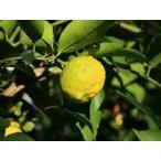 【1年間枯れ保証】【】レモン/四季成りレモン 15cmポット  4本セット 送料無料 【あすつく対応】