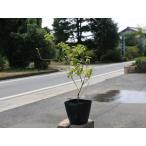 【1年間枯れ保証】【低木】コバノランタナ白 9.0cmポット 【あすつく対応】