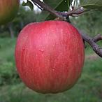 リンゴ 苗 シナノスイート 13.5cmポット苗(PVP)【りんご 苗木】