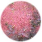 スモークツリー 苗木 ベルベットクローク 13.5cmポット苗 3年生 スモークツリー 苗