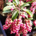 アセビ 苗木 バーバレンタイン 15cmプラ鉢 あせび 苗