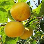 柿の木の苗 太秋柿(たいしゅうがき)柿 12cmポット苗【甘柿 苗木】