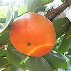 柿の木の苗 早秋(そうしゅう)柿 12cmポット苗(PVP)【甘柿 苗木】