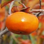 柿の木の苗 夕紅(ゆうべに)柿 12cmポット苗【甘柿 苗木】