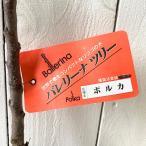 バレリーナツリー 苗木 ポルカ 15cmポット苗 バレリーナツリー 苗