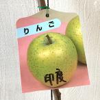 リンゴ 苗木 印度 13.5cmポット苗 インドりんご りんご 苗 林檎