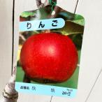 リンゴ 苗木 秋映 13.5cmポット苗 あきばえ (ワイ性) りんご 苗 林檎