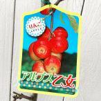 リンゴ 苗木 アルプス乙女(アルプスおとめ) 12cmポット苗 りんご苗
