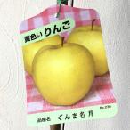 リンゴ 苗木 ぐんま名月(ぐんまめいげつ) 13.5cmポット苗 りんご苗