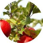 リンゴ 苗木 ジョナゴールド 13.5cmポット苗 りんご 苗 林檎