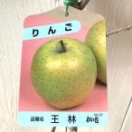 リンゴ 苗木 王林(おうりん) 12cmポット苗(ワイ性) りんご苗