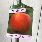 リンゴ 苗木 津軽(つがる) 12cmポット苗 りんご苗