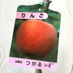 リンゴ 苗木 津軽 12cmポット苗 つがる (ワイ性) りんご 苗 林檎