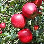 リンゴ 苗 陽光(ようこう) 13.5cmポット苗【りんご 苗木】