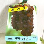 ぶどう 苗木 デラウェア 12cmポット苗 ブドウ 苗 葡萄