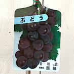 ぶどう 苗木 巨峰(きょほう) 12cmポット苗 ブドウ苗 葡萄