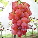 ぶどう 苗木 甲斐路 接木苗 13.5cmポット苗 かいじ ブドウ 苗 葡萄