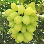 ぶどう 苗木 翠峰 12cmポット苗 すいほう ブドウ 苗 葡萄