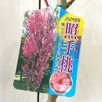 花桃 苗木 照手 (ピンク) 12cmポット苗 てるて はなもも 苗 ハナモモ