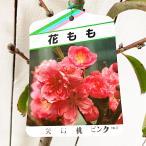 花桃 苗木 矢口桃(やぐちもも) 12cmポット苗(ピンク) はなもも苗