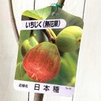 イチジク 苗木 日本種 12cmポット苗 いちじく 苗 無花果