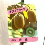 キウイ 苗木 香緑(緑実メス) 12cmポット苗 こうりょく キウイ 苗 キウイフルーツ
