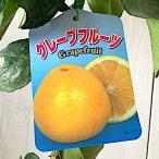 グレープフルーツ 苗木 グレープフルーツ(白実) 13.5cmポット苗 グレープフルーツ 苗