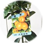 金柑 苗 福寿(大実)キンカン 13.5cmポット苗【金柑 苗木】