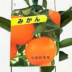 みかん 苗木 小原紅早生(おばらべにわせ) 13.5cmポット苗 ミカン苗