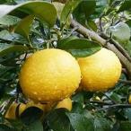オレンジ 苗木 黄金柑 15cmポット苗 ゴールデンオレンジ  ゴールドオレンジ オレンジ 苗