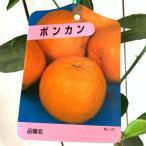 みかん 苗木 ポンカン 13.5cmポット苗 柑橘 苗木
