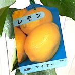 レモンの木 レモン 苗 マイヤー 四季成 13.5cmポット苗