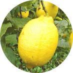 レモンの木 レモン 苗 リスボンレモン 13.5cmポット苗