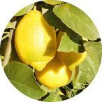 レモン 苗木 ユーレカレモン 13.5cmポット苗 れもん 苗 檸檬