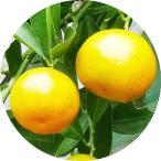 四季柑(チャイナリトルレモン) 15cmポット苗【柑橘 苗木】果樹苗